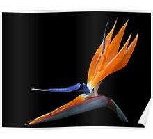 Bird of Paradise DPG160420a Poster
