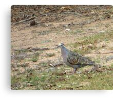 Native Flock Bronzewing Pigeon! Through Glass, 'Arilka' Canvas Print