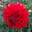 ANOTHER BIG RED FLOWER by scholara