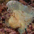 Leaf Scorpionfish at Mabul, Malaysia by Erik Schlogl