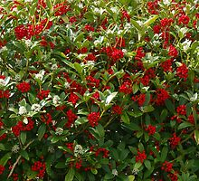 Skimmia japonica by lezvee