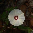 White star flower by Allen Lucas