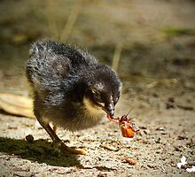 Baby Chicken Finds Bug by TJ Baccari Photography