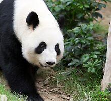 Panda in  Ocean Park Hong Kong by Keith Larby