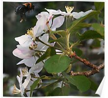 Apple Blossoms and Bumblebees Poster
