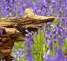 Old rotten wood in bluebell wood  by yampy