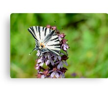 Swallowtail butterfly on an orchid, Paciano, Umbria, Italy Canvas Print