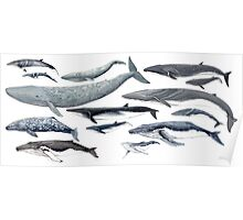 Whales and baby whales Poster