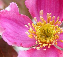 Pink Clematis by biskh