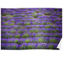 Lines of Lavender Poster