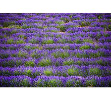 Lines of Lavender Photographic Print