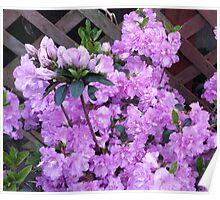 Purple Azalea Flowers Poster