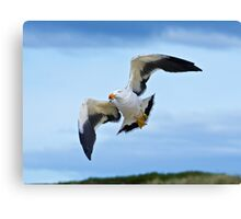Pacific Gull Canvas Print