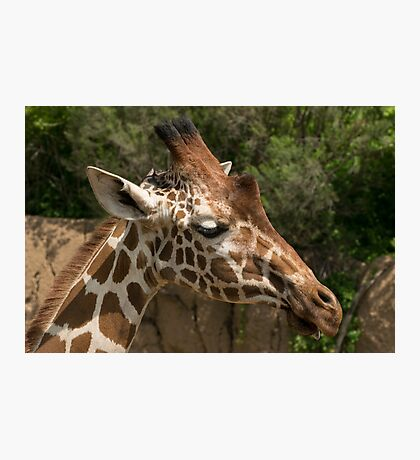Closeup of Reticulated Giraffe Head Photographic Print