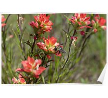 Bumble Bee on bright pink Indian Paintbrush flowers Poster