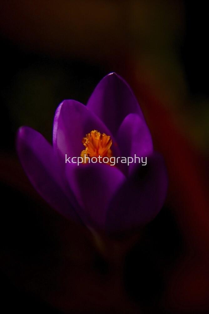 Purple Crocus by Richard Hamilton-Veal