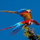 Macaws in flight by Tarrby
