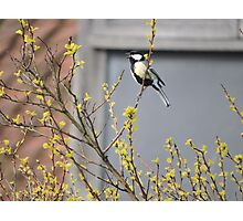 Song of The Great Tit Photographic Print