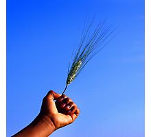 Wheat in hand in blue sky Photographic Print