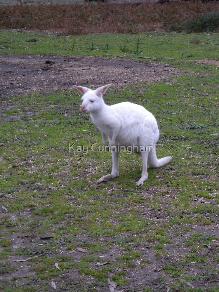 Albino Wallaby by Kay Cunningham