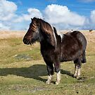 Dartmoor Pony by Dave Hare