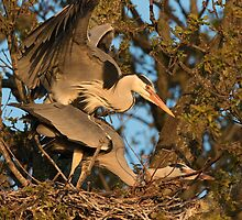 Mating Grey Herons by Neil Bygrave (NATURELENS)