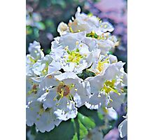 Beautiful White Flowers Photographic Print