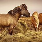 Icelandic Horses by Svetlana Sewell