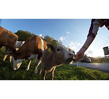 calf in s Photographic Print