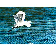 Great Egret in Flight Photographic Print