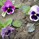 Pansies by Vitta