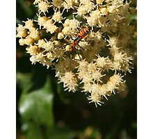 Orange and Black Insect on a Flower Photographic Print
