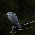 White-Faced Heron by margotk