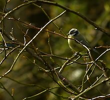 Back lit Blue Tit by KMorral