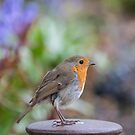 Spring Robin by SteveHphotos