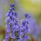 Spring Bluebells by SteveHphotos
