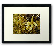 Forsythia Hedge Framed Print