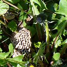 morel by Doreen Connors