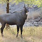 The Nilgai is the largest Asian antelope by Carole-Anne