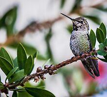 Hummingbird 6 by gerardofm4