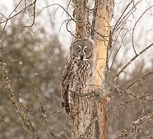 Great Grey Owl by Josef Pittner