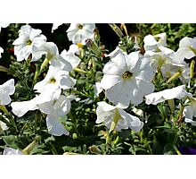 White flowers in the garden, natural background. Photographic Print