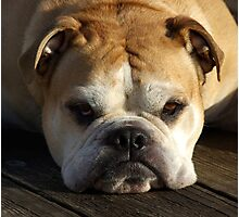 bulldog your best friend Photographic Print