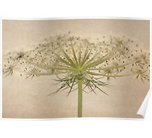 Queen Anne's Lace with Texture Poster