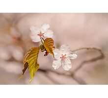 Sakura In Beige Photographic Print