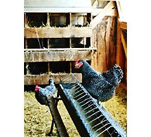 In the Chicken Coop Photographic Print