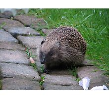 Hedgehog British Wildlife Mammal Photographic Print