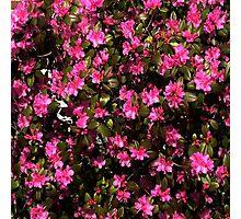 Cluster of Pink Hellikki Rhodo Photographic Print