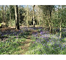 Bluebells in Earlswood Photographic Print