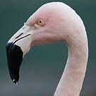 chilean flamingo by Dennis Cheeseman